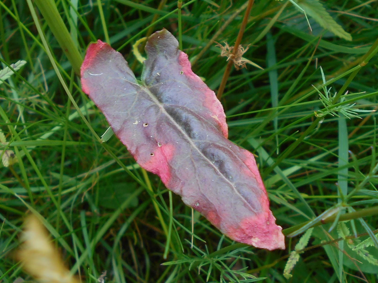 This Reddening Of A Sorrel Leaf Could Be Down To
