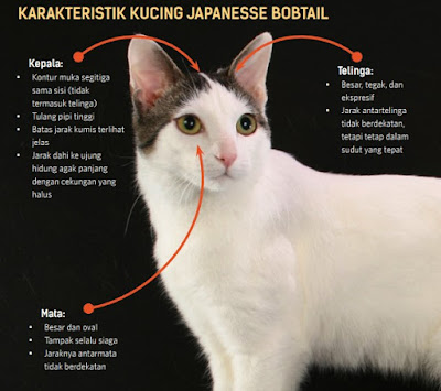 ciri ciri dan karakteristik kucing Japanesse bobtail