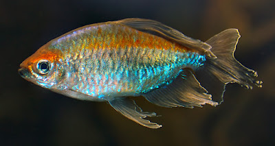 Single adult Congo tetra in full colouration