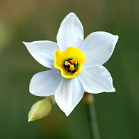 Ortası sarı renkli olan beyaz renkli nergis çiçeği