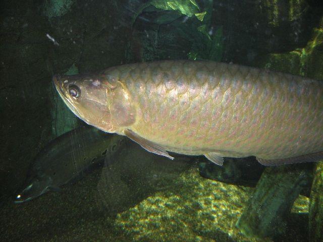 Jenis Ikan Arwana Scleropages Leichardti