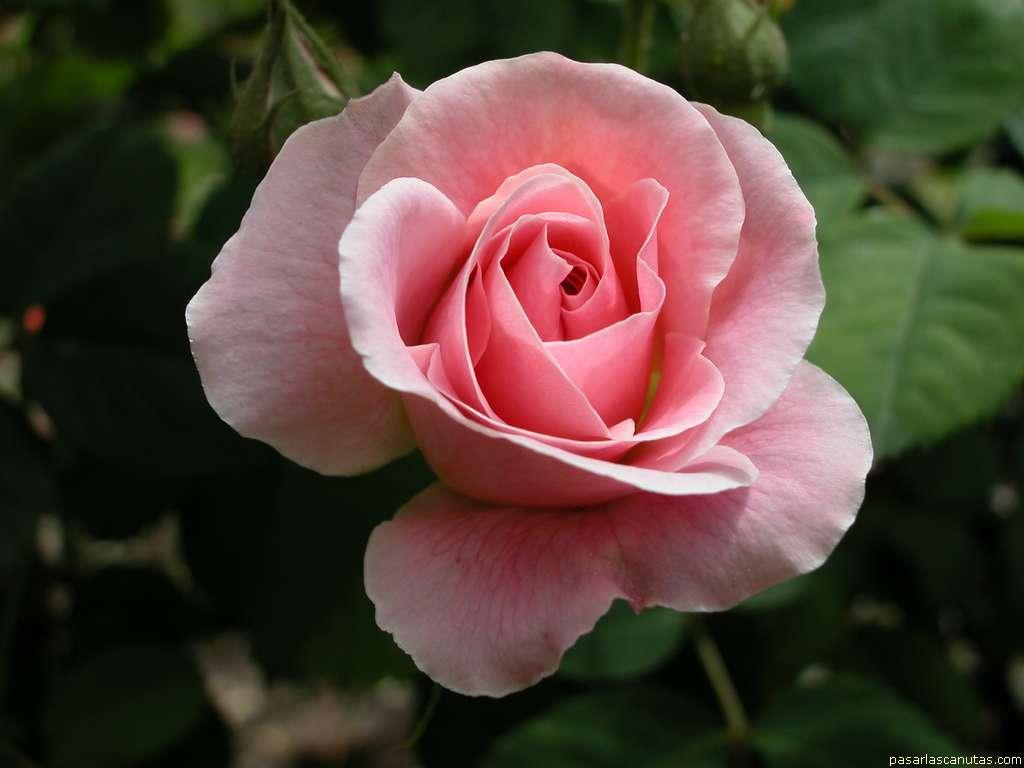 flores belas e encantadoras rosas. Black Bedroom Furniture Sets. Home Design Ideas