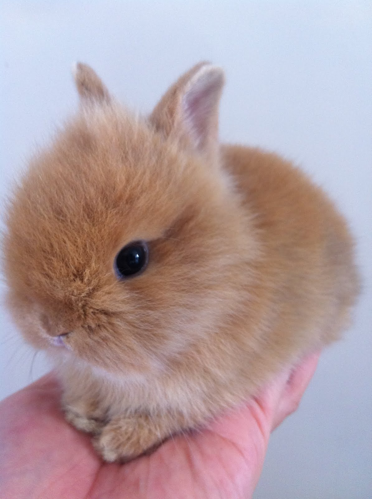 Lionhead Rabbit Baby Brown
