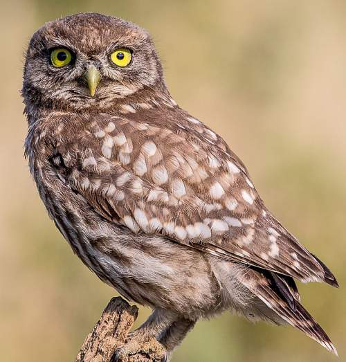 Birds of India - Photo of Little owl - Athene noctua