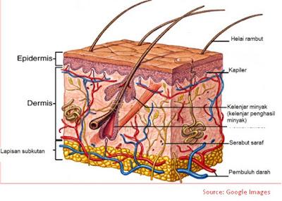 jaringan kulit