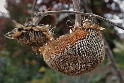 sunflower seed heads, dried