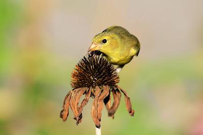 Bird on Echinacea flower seeds