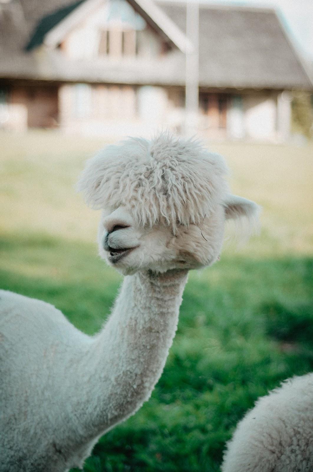 alpakos, trakų alpakos, alpakos trakuose, alpakų vilna, lamos, lamos lietuvoje, lamos trakuose, trakų lamos, ką veikti vilniuje, juoda plunksna, juoda plunksna blog, lietuvos blogerės, lietuvos tinklaraštininkės, lithuanian beauty blog, lithuanian bloggers, zoologijos sodas, ką veikti su vaikais, ką veikti