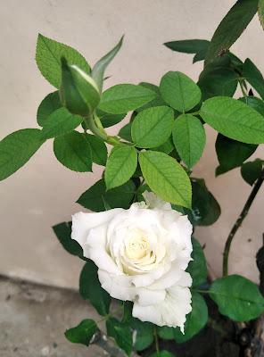 """""""White rose @ simplymarrimye.com"""""""