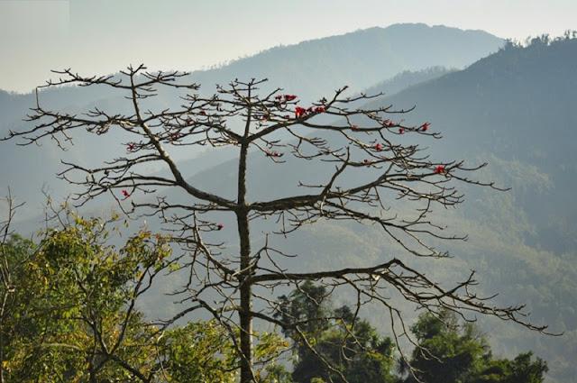 Red silk cotton trees in full bloom in Northwest Vietnam 3