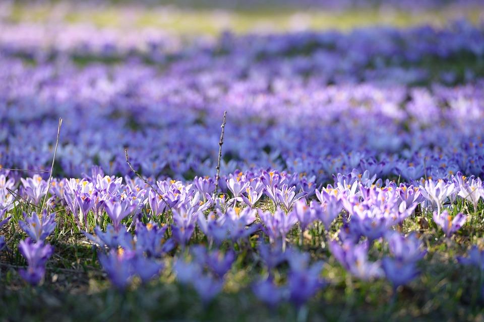 Çiğdem Çiçeği Nedir Ve Bakımı Nasıldır? Çiğdem Çiçeği Anlamı, Özellikleri, Faydaları Ve Yetiştiriciliği Çiğdem Çiçeği Anlamı, Özellikleri Ve Faydaları Nelerdir? Bakımı Nasıl Yapılır? Çiğdem çiçeği nasıl yetiştirilir? Bakımı nasıl yapılır?