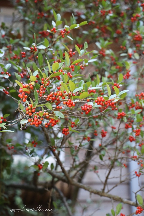 Fall Front Entry Garden With Red Holly Berries