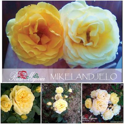 MIKELANĐELO - Michelangelo Žuta ruža. Hibridna čajevka