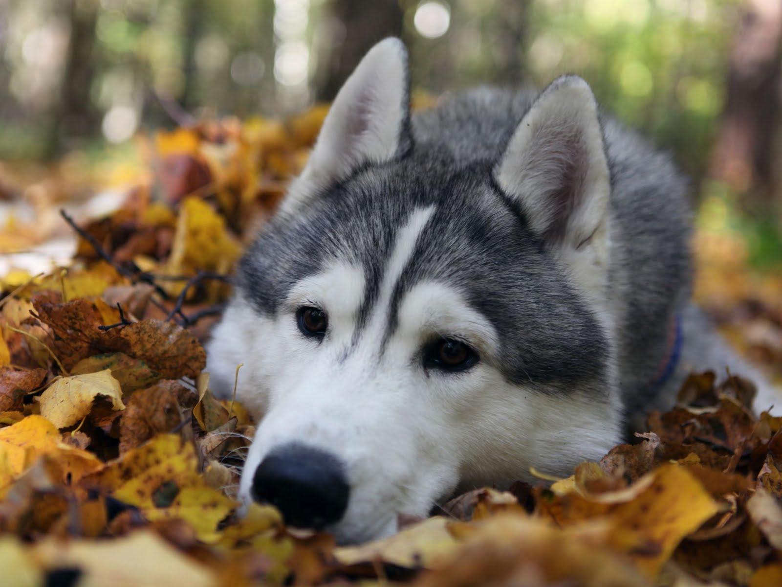 Husky Dog Wallpaper Hd Gambar Joss