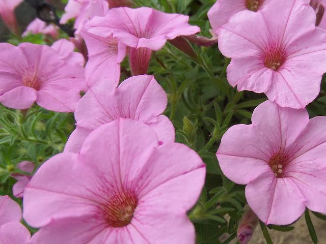 pink Calibrachoa