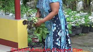 Memetik Caisim Sehat Organik di Pekarangan Sendiri
