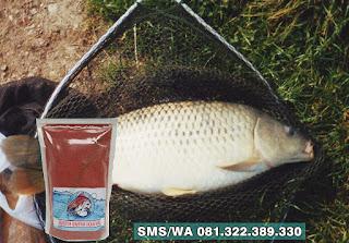 Umpan Ikan Mas Tombro Khusus di Danau Rawa dan Situ