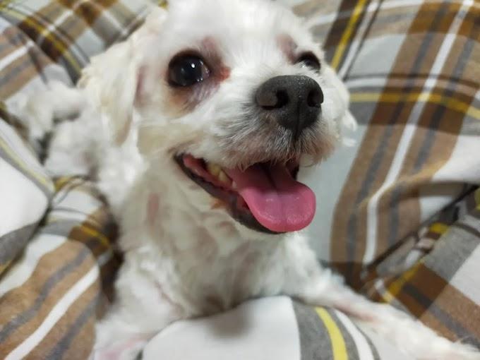 My idol maltese mixed breed dog, Alfyn🐶
