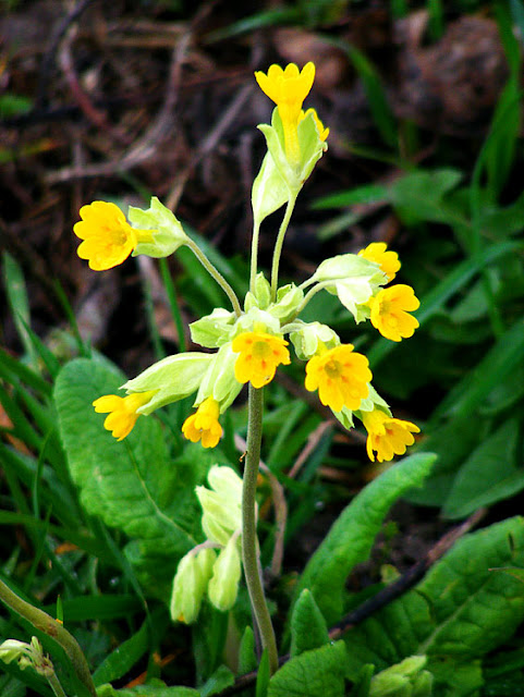Cowslip Primula veris. March.  Indre et Loire, France. Photographed by Susan Walter. Tour the Loire Valley with a classic car and a private guide.