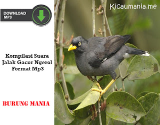 Kompilasi Suara Jalak Gacor Ngerol Format Mp3