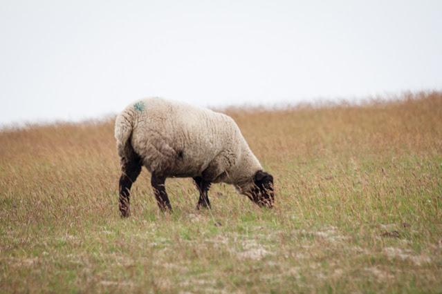Duncansbay head-Pecore