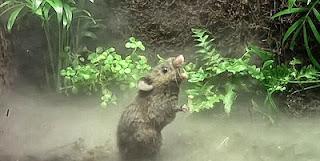Gambar seekor tikus sedang menyanyi