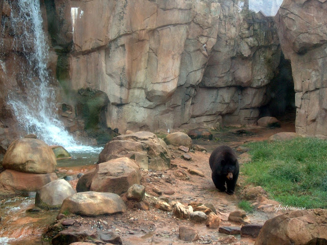 The Memphis Zoo Review - Black Bear Photo by Cynthia Sylvestermouse
