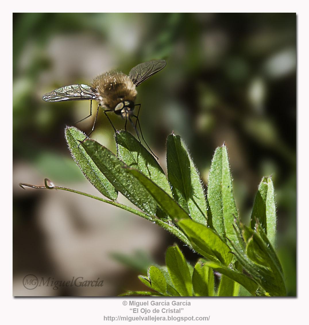 Diptera peluda sobre planta pilosa.