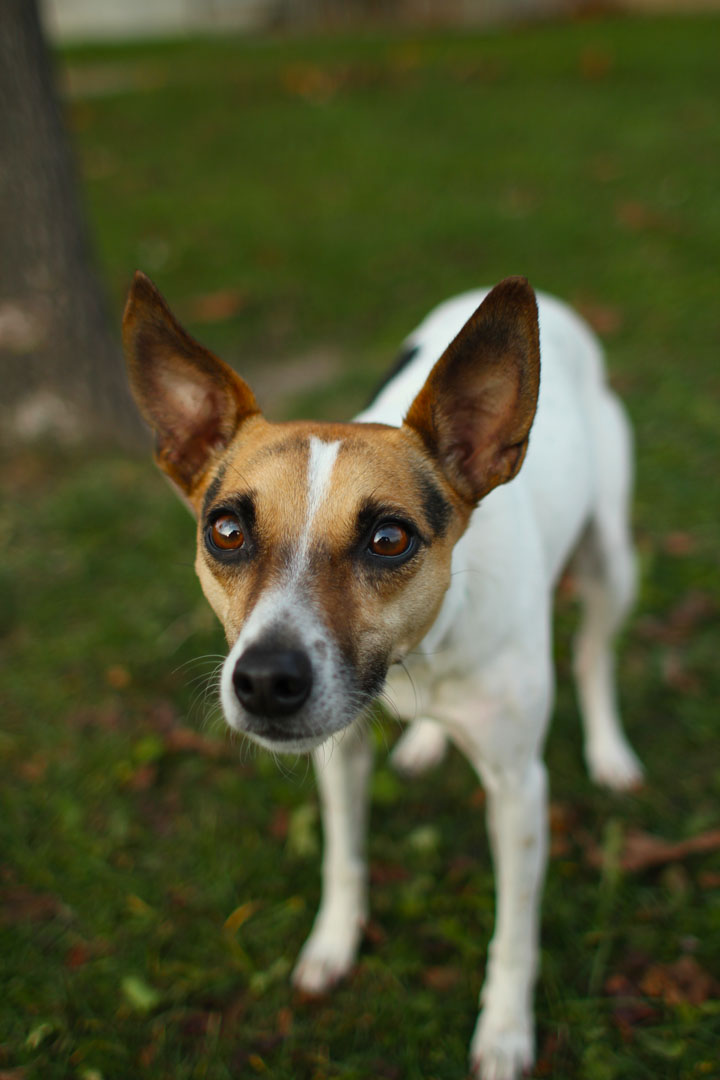 jack russel terrier mix nina fox and jack russell terrier mix 8692
