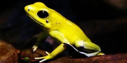 गोल्डन पॉइजन डार्ट फ्रॉग - Golden poison dart frog