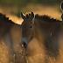 Το μυστήριο με τα άγρια άλογα στο Τσέρνομπιλ