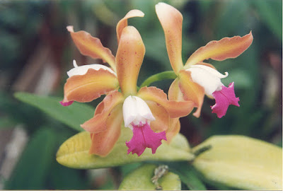 Orquídea Cattleya Hawaiian Variable 'Prasan'