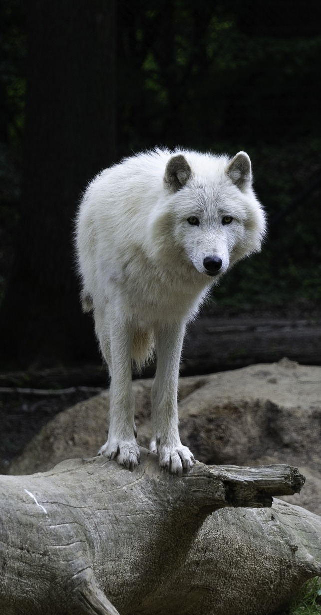 Picture of a white wolf.