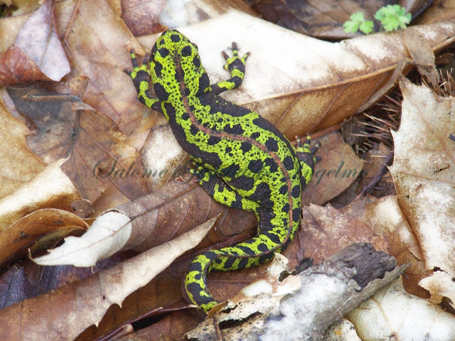 Salamandra Hervas Salome Guadalupe Ingelmo