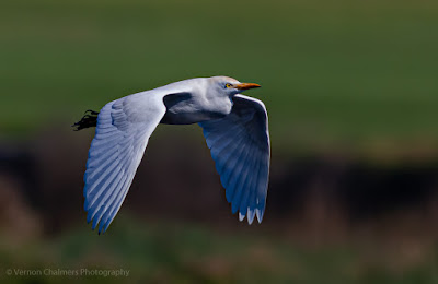 Cattle Egret in Flight Woodbridge Island, Cape Town