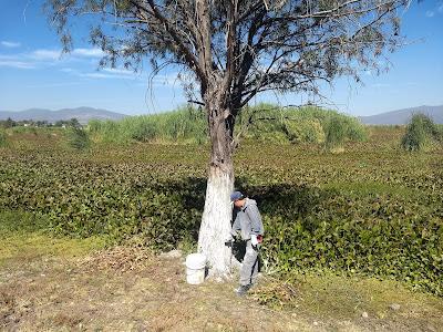 laguna de yuriria lake conservation reforestation ecosystem guanajuato mexico white paint tree