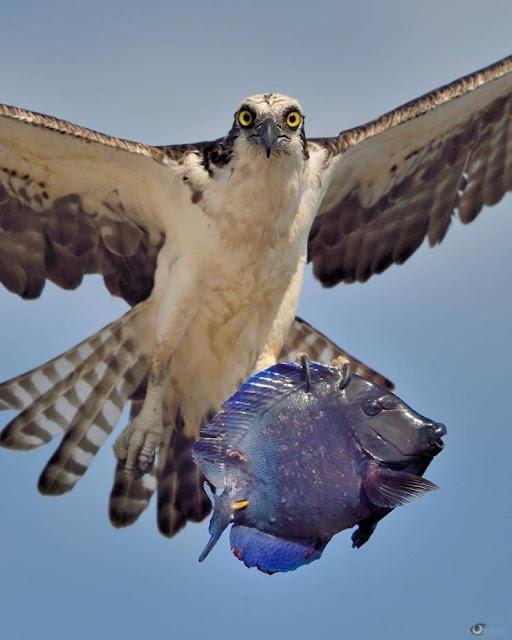 aruba osprey