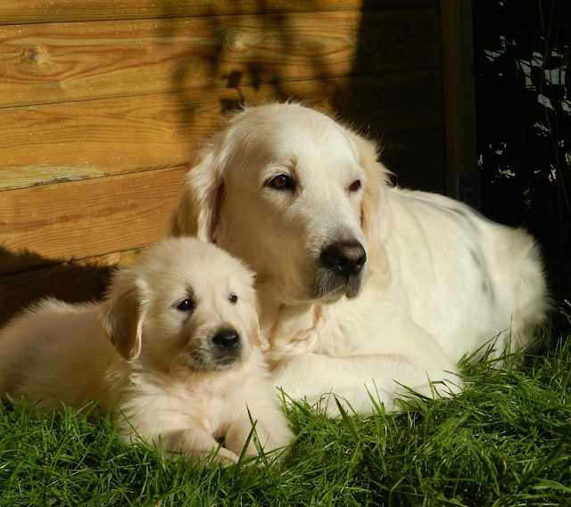 Double layer coat golden retriever