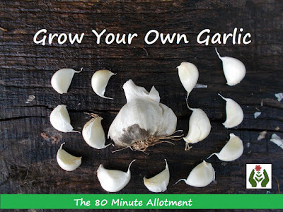 Grow your own garlic 80 Minute Allotment Green Fingered Blog