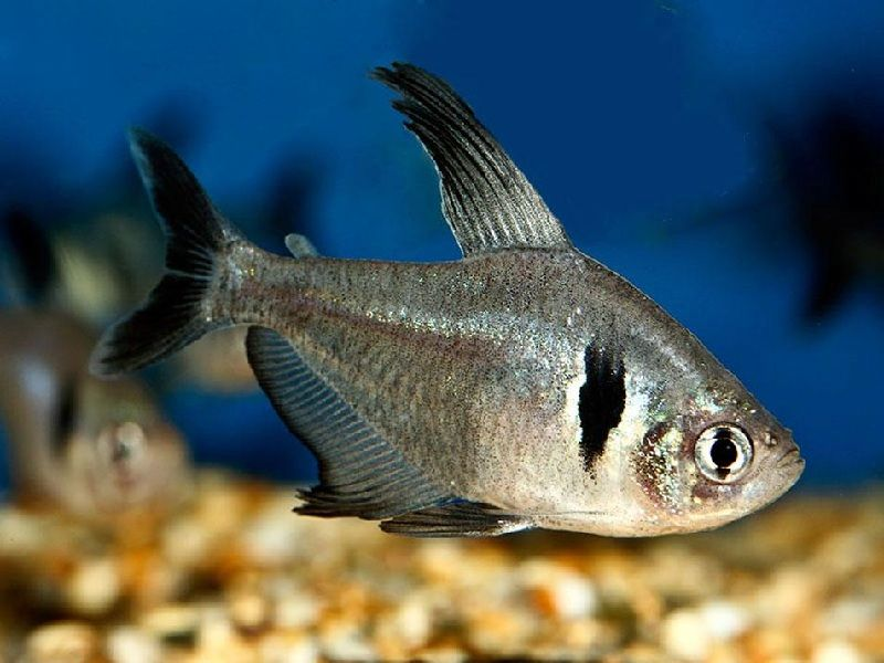 perbedaan ikan black tetra jantan dan betina