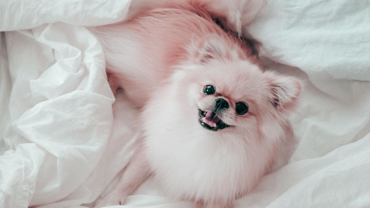 chien Spitz