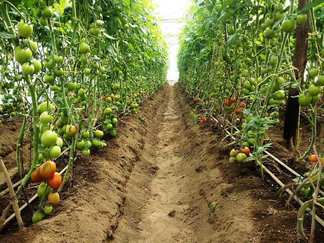 tomato farming in kenya