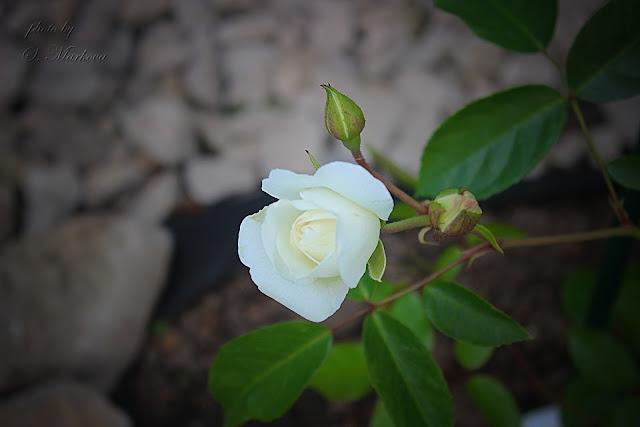belaya-roza