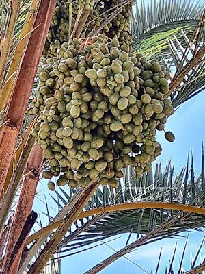 Tandan buah Kurma di halaman Masjid Agung Kota Tasikmalaya