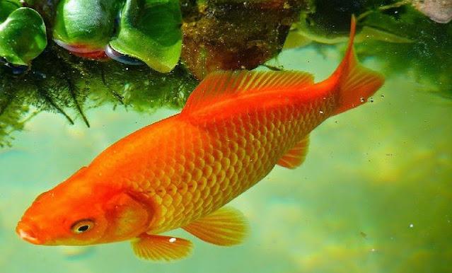 Berikut Supplier Jual Ikan Mas Hias & Bibit di Mamuju, Sulawesi Barat