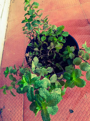 Pudina plant or Mint Plant