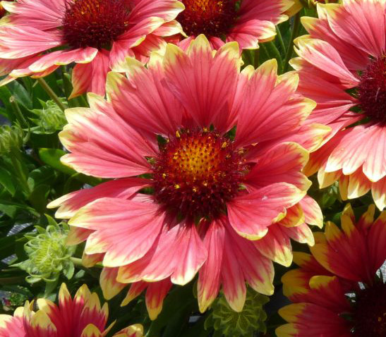 Gaillardia-SM-Sunset-Candy-.jpg