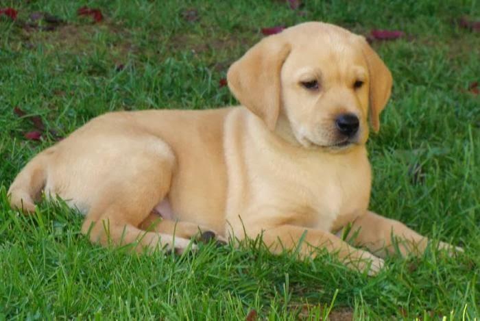 Aqui Fotos De Cachorros Labradores Super 4 Patas