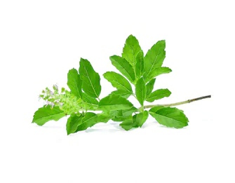 Tulsi plant uses