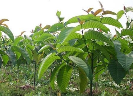 Prospek dan Cara Menanam Pohon Jabon Lengkap Analisa Usahanya